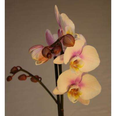 Luna River 4.0 in. Bio Pot Pink Phalaenopsis Orchid