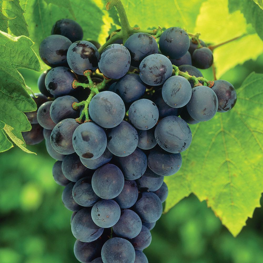 Van Zyverden Grapes Concord Blue Plants 83720 The Home Depot