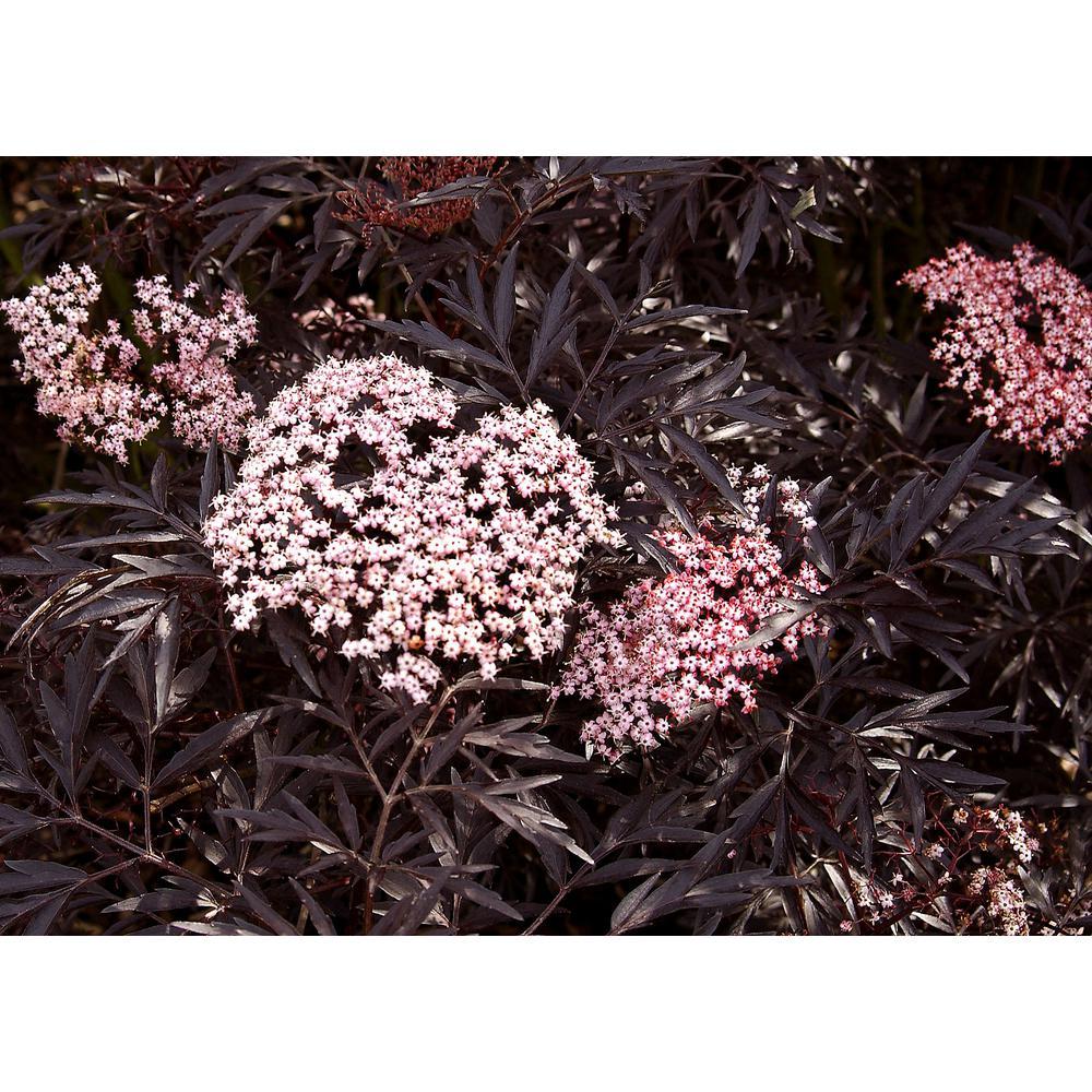 1 Gal. Black Lace Elderberry (Sambucus) Live Shrub, Pink Flowers