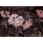 4.5 in. Qt. Black Lace Elderberry (Sambucus) Live Shrub, Pink Flowers