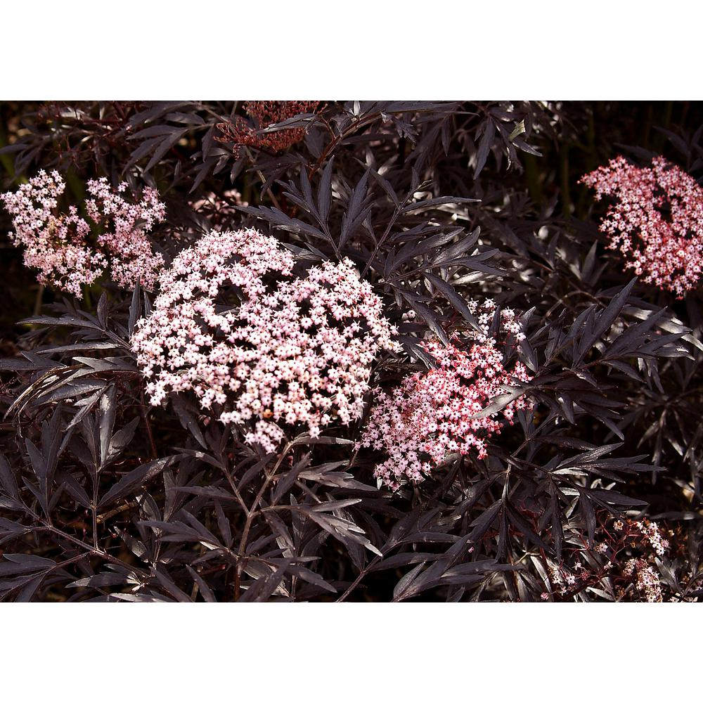 Proven Winners 1 Gal. Black Lace Elderberry (Sambucus) Live Shrub, Pink Flowers