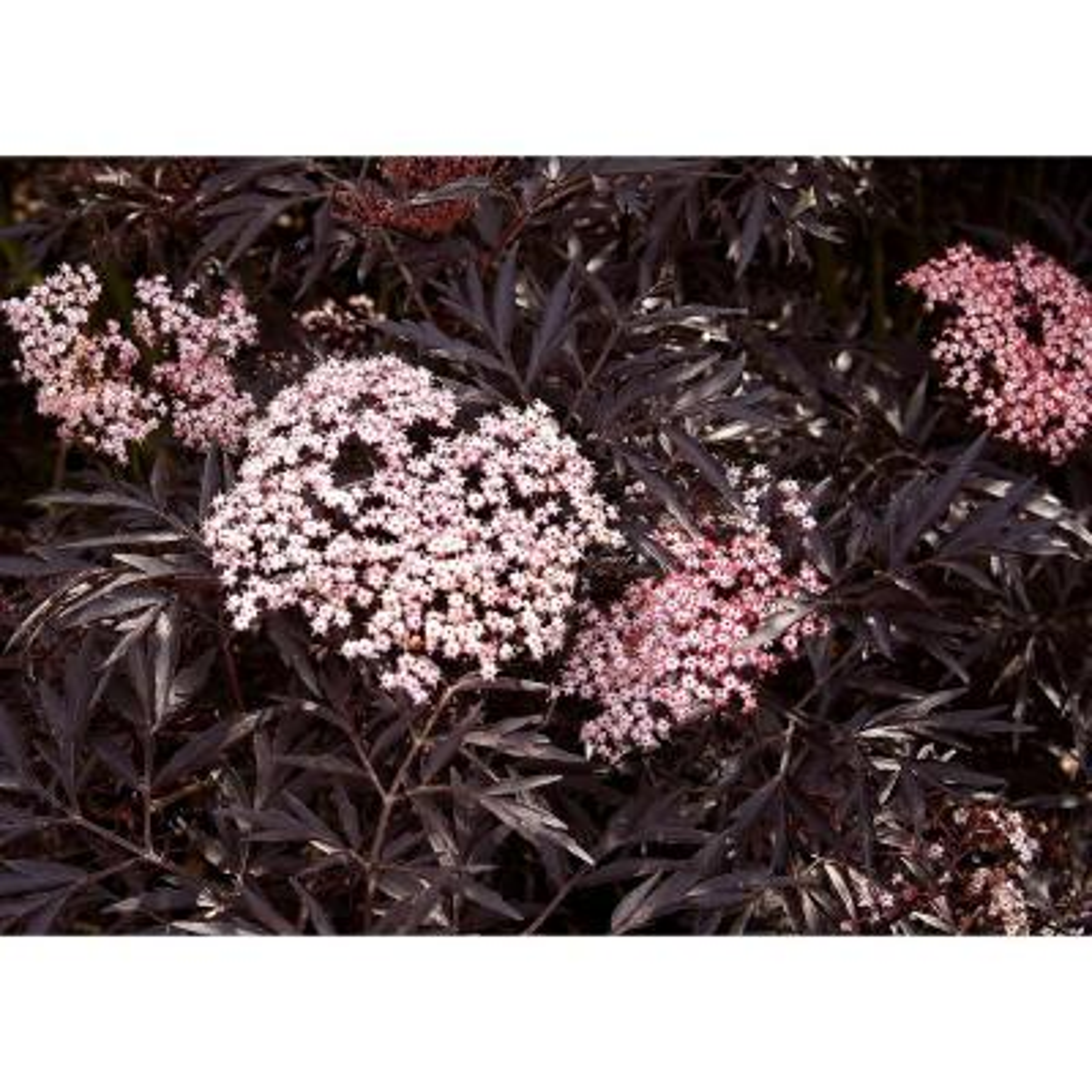 Proven Winners 1 Gal  Pink Chiffon Rose of Sharon (Hibiscus