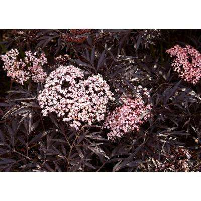 1 Gal. Black Lace Elderberry (Sambucus) Live Shrub, Pink Flowers