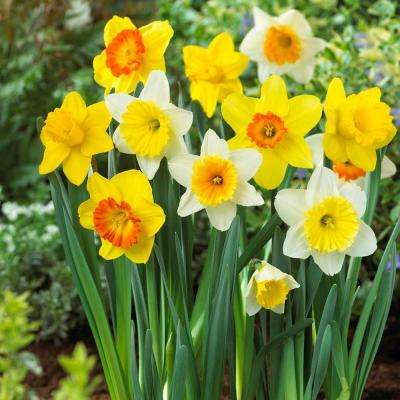 Large Cupped Daffodil Mix Flower