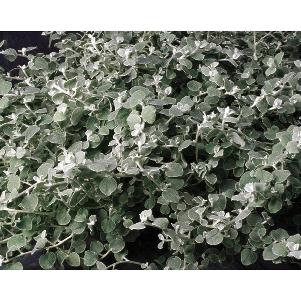 Sunflower annuals garden plants flowers the home depot white licorice helichrysum live plant silver white foliage 425 in izmirmasajfo