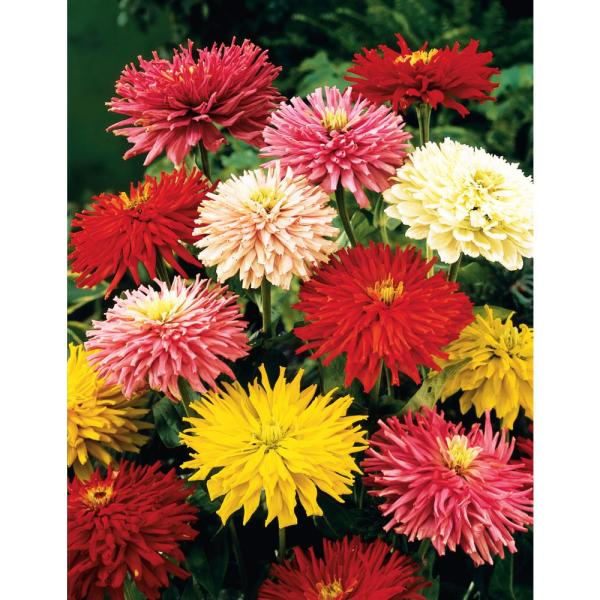 Zinnia State Fair, Multi Color Flowers (60 Seed Packet)