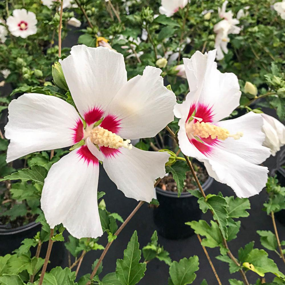 Spring Hill Nurseries Red Heart Althea Hibiscus Tree Live Bare Root