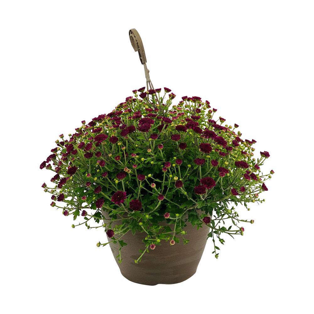 1.8 Gal. Mum Chrysanthemum Plant Purple Flowers in 11 In. Hanging Basket