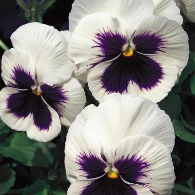 4.5 in. White Pansy Plant