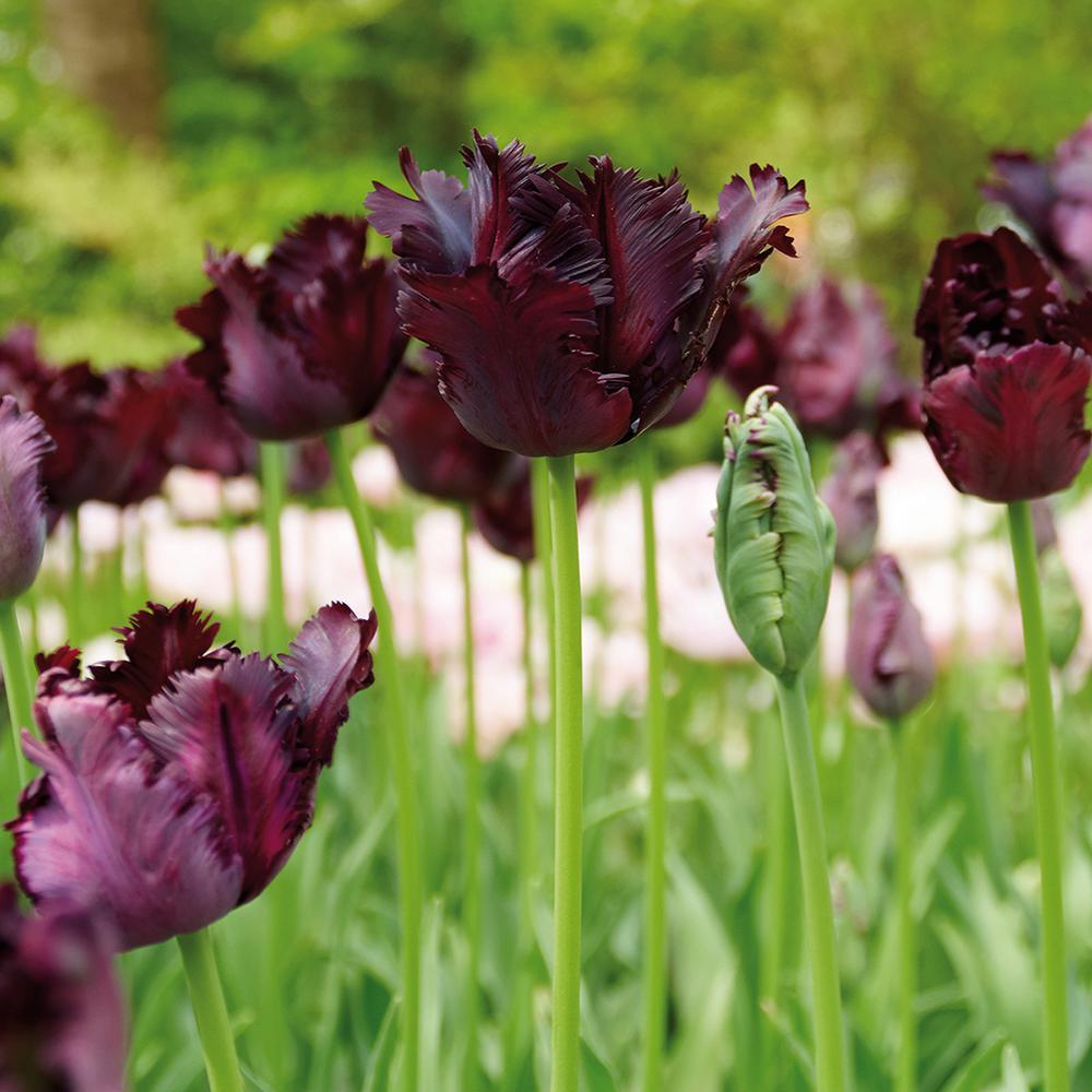 Tulips Bulbs Black Parrot (Set of 12)