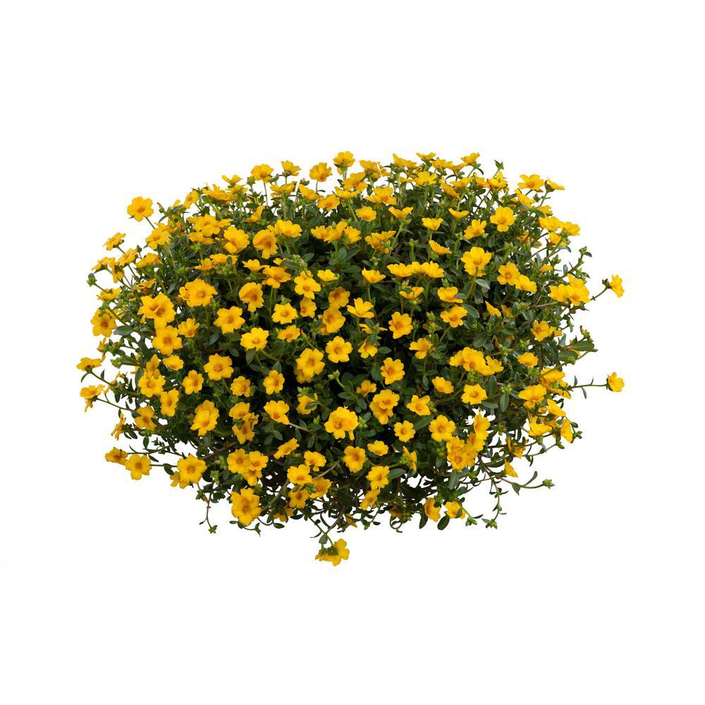 Costa Farms 1 Qt. Yellow Purslane Flowers in Grower Pot (4-Pack)