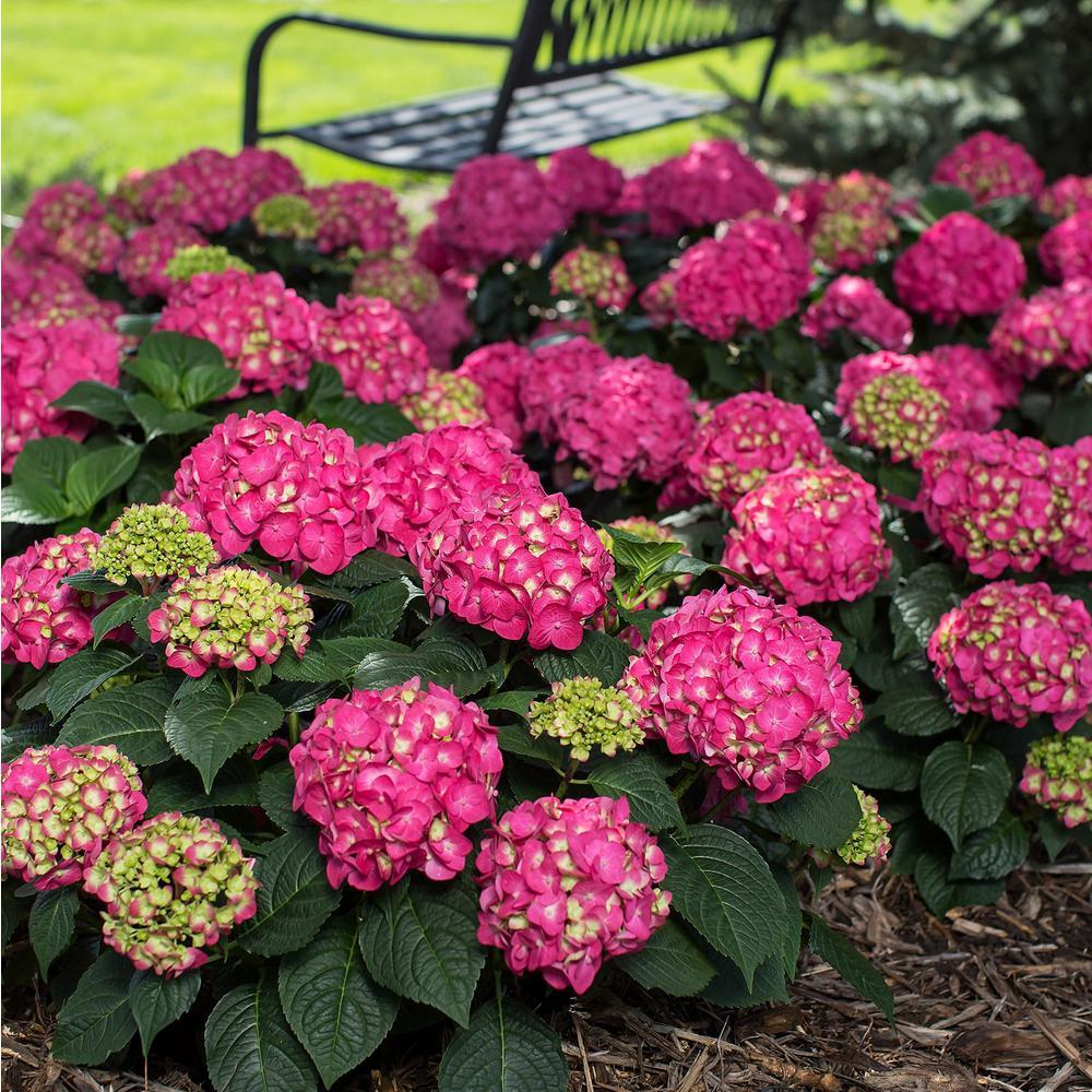 3 Gal. Live Deciduous Shrub Summer Crush Hydrangea (Macrophylla) Raspberry Red or Neon Purple Blooms