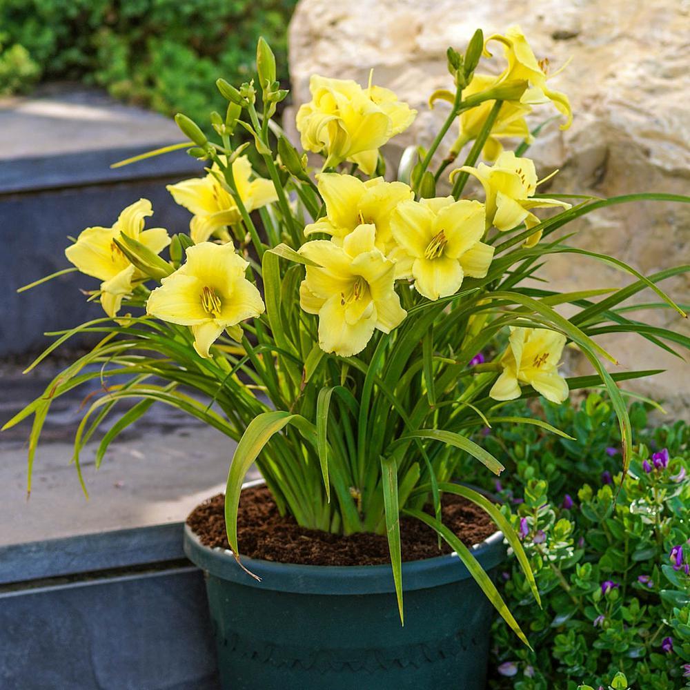 Fragarent Returns Daylily (Hemerocallis) Live Bareroot Plant Yellow Flowering Perennial (1-Pack)