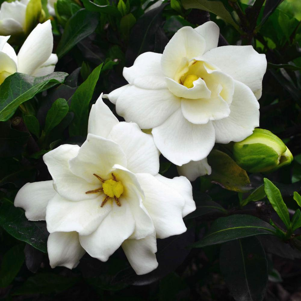Spring Hill Nurseries 4 In Pot Sweet Tea Gardenia Live Potted Plant