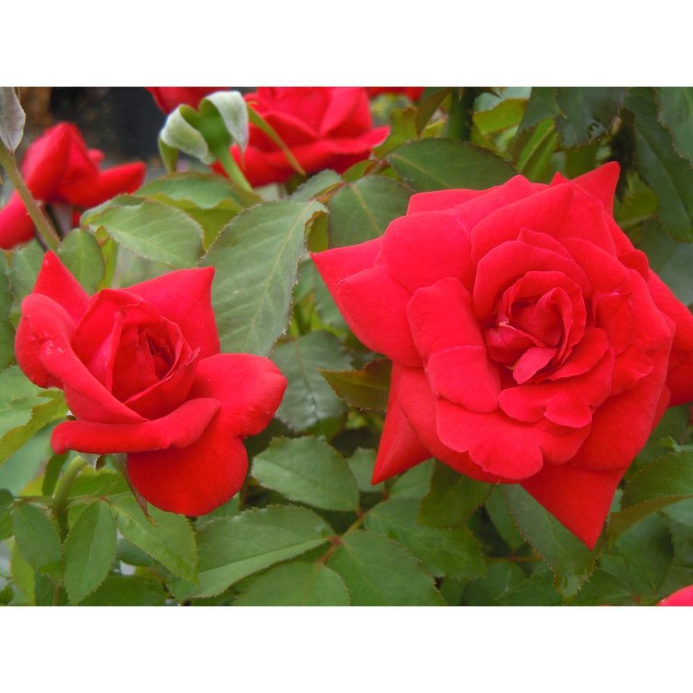 Mea Nursery Special Purpose Rose Rotary