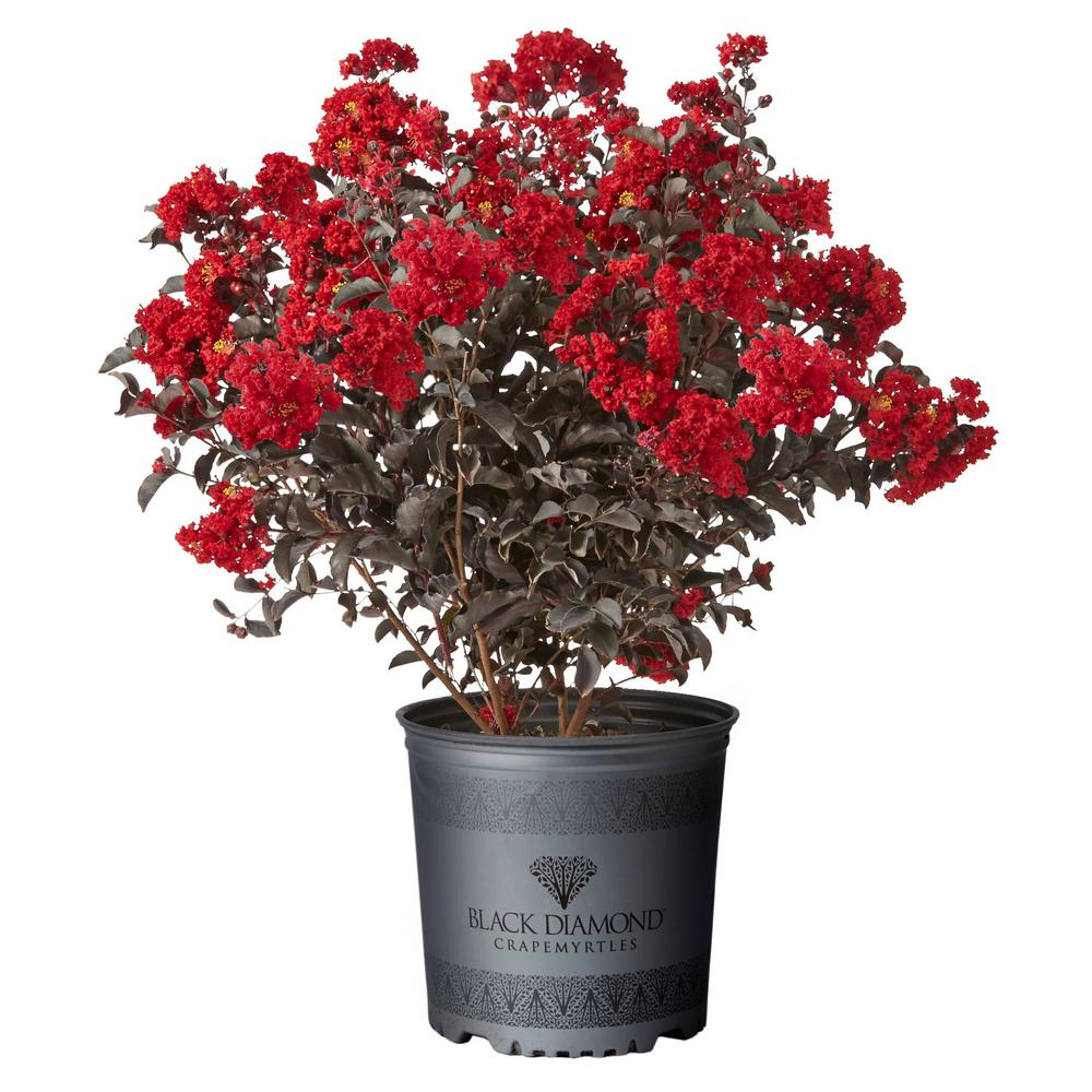 Black Diamond 2.25 Gal. Best Red Crape Myrtle Tree with Red Flowers