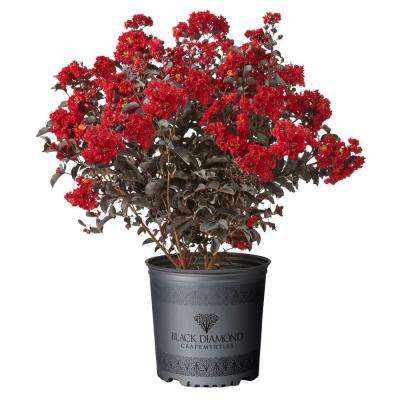 2.25 Gal. Best Red Crape Myrtle Tree with Red Flowers