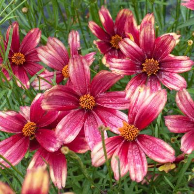 4.5 in. Quart Satin and Lace Red Chiffon Coreopsis (Tickseed) Live Native Perennial Plant with Red and Yellow Flowers