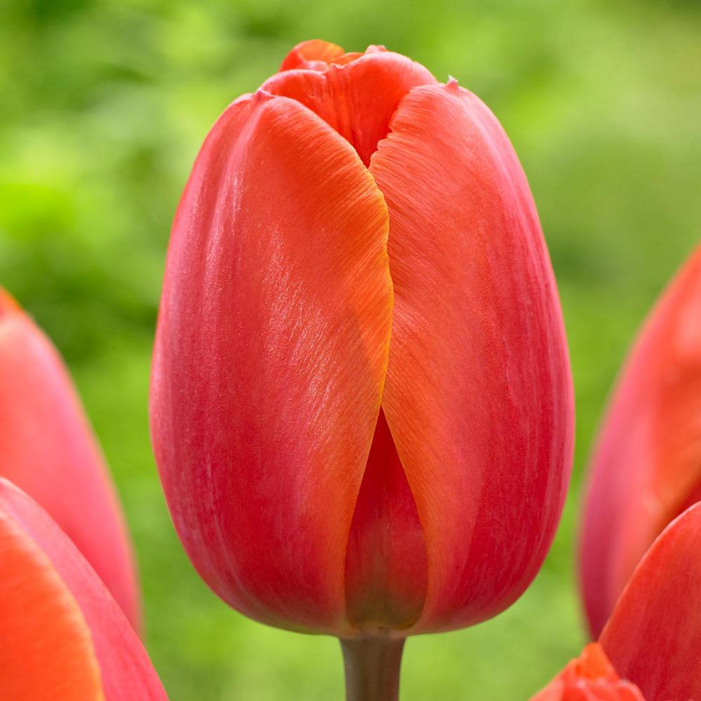 Longfield gardens tulip ad rem bulbs 25 pack 11802265 for Tulipe bulbe