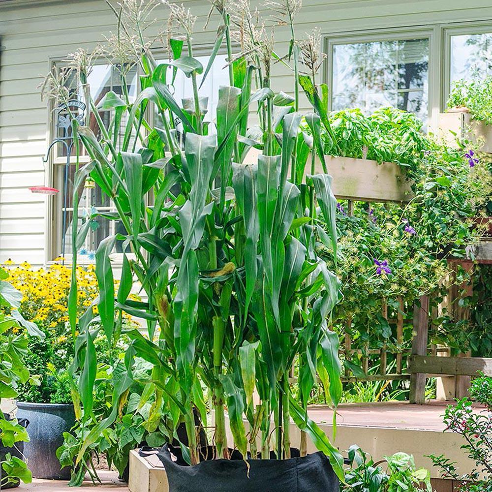Gurney's Sweet Corn Utopia, Container Gardening Variety