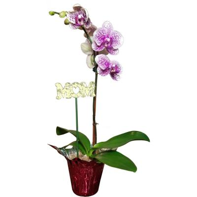 Mothers Day Orchid Plant in 4 in. Grower Pot with Red Wrap