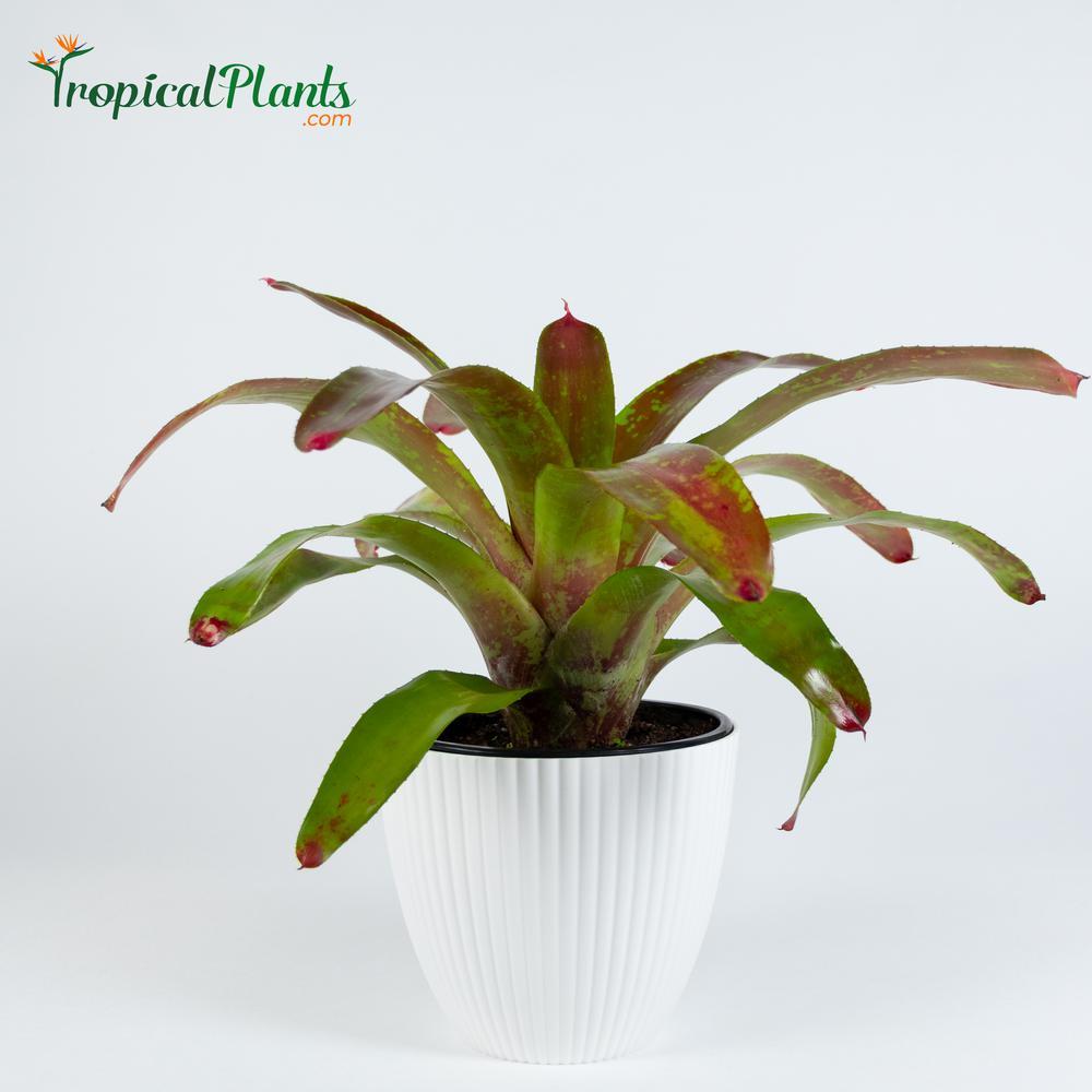 Gazpacho Bromeliad (Neoregelia) Live Plant Inside Decorator White Ribbed 6 in. Pot