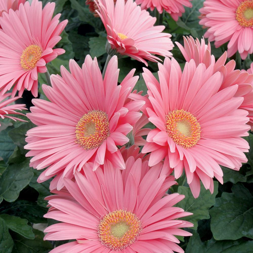 2.5 Qt. Pink Transvaal Daisy Plant