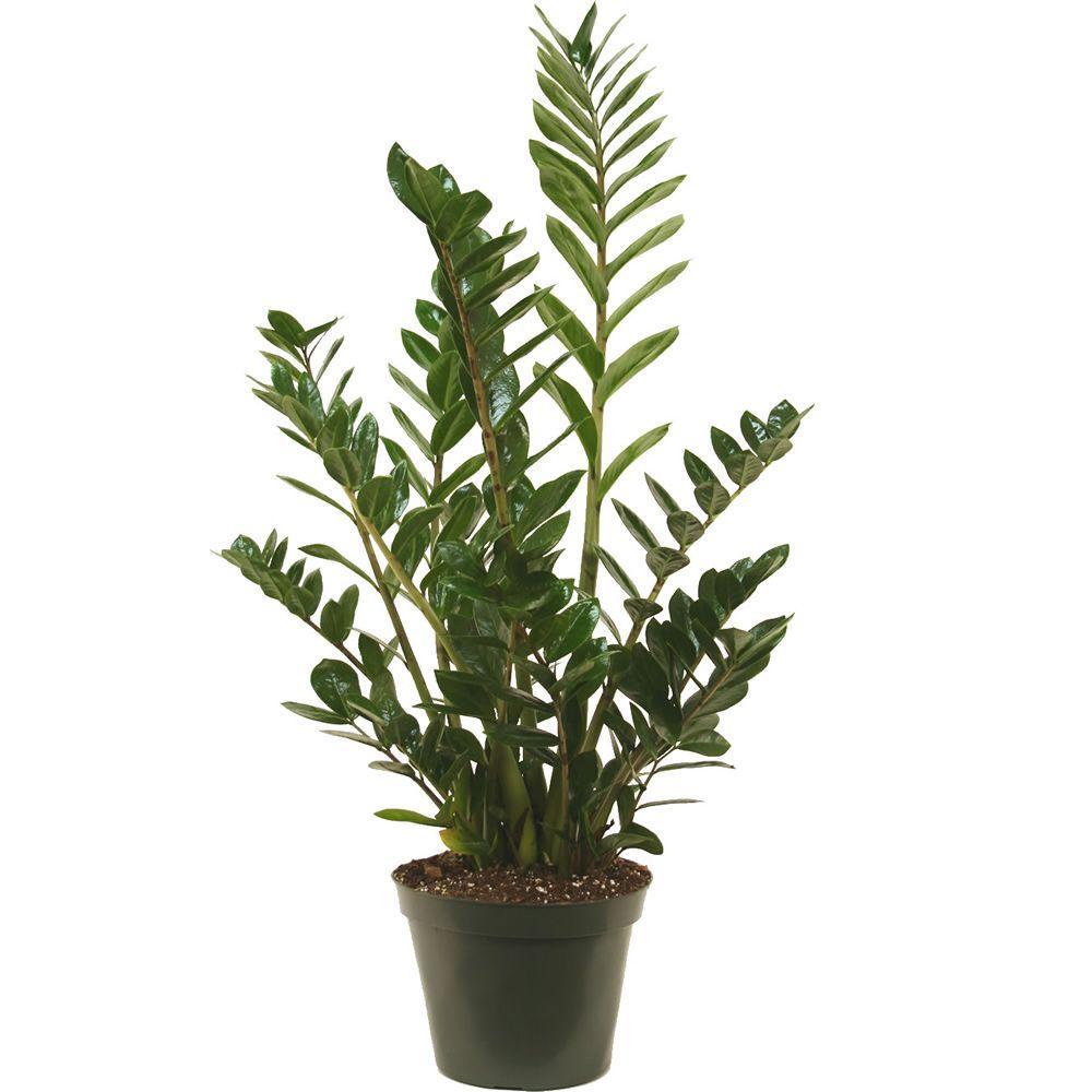 Questions 1-1 on jade plant home depot, indigo plant home depot, lipstick plant home depot,