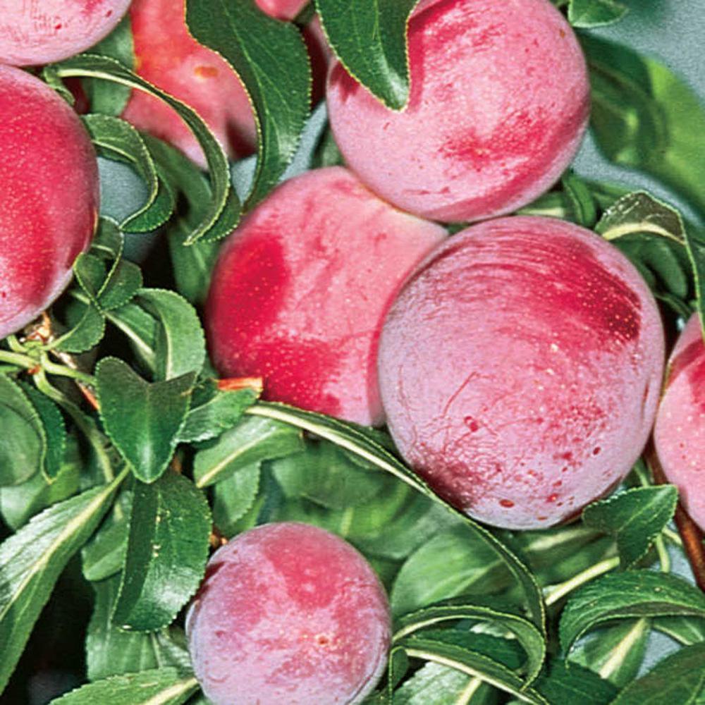 Ruby Sweet Plum Prunus Live Fruiting Bareroot Tree (1-Pack)