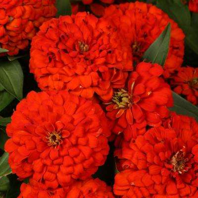 Sweet Tooth Licorice (Zinnia) Live Plant, Red Flowers, 4.25 in. Grande