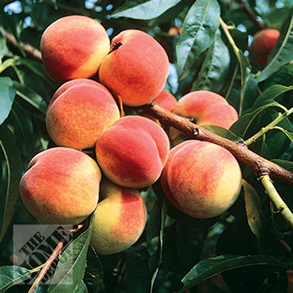 null Red Globe Peach