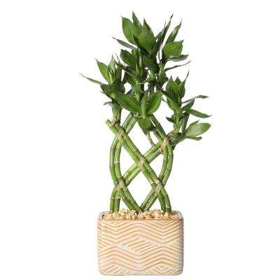 Lucky Bamboo Weave Braid in 5.5 in. Galileo Curry Square Ceramic