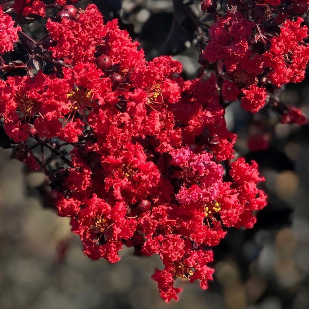 1 Gal. Red Hot Black Diamond Crape Myrtle Tree