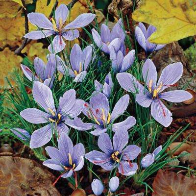 Saffron Fall Blooming Crocus Bulb Mixture (10-Pack)