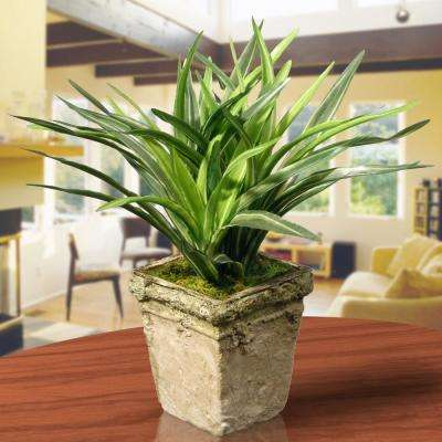 9 in. Mini Dracaena