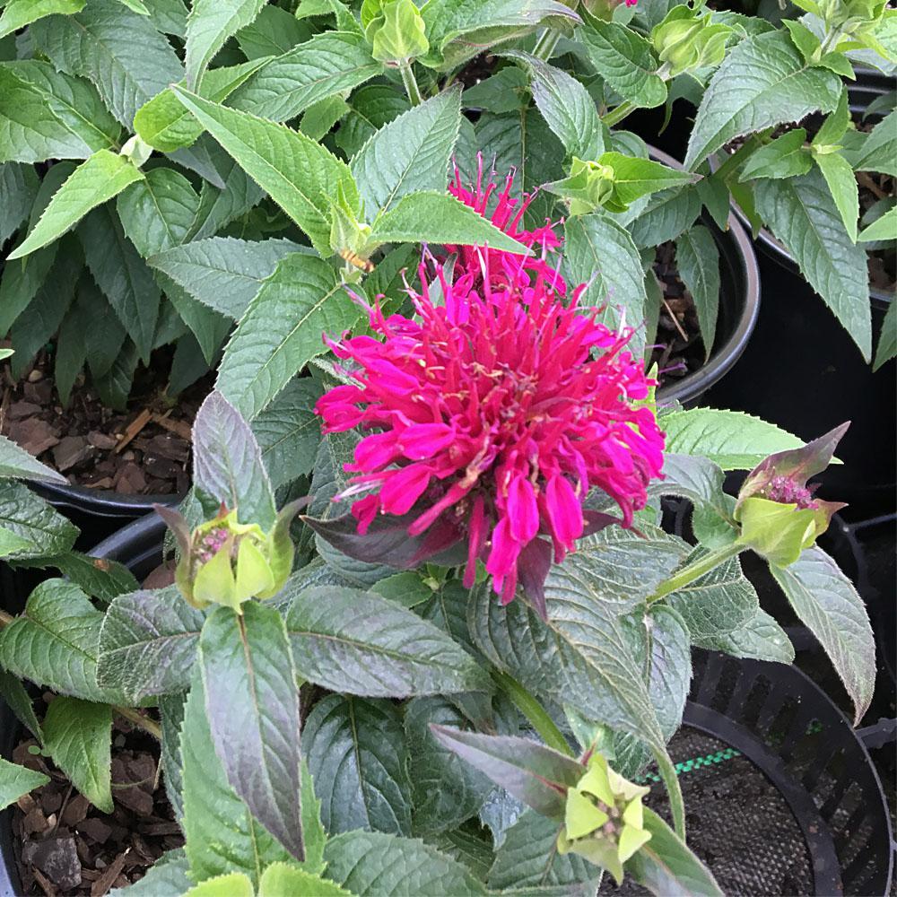 1 Gal. Raspberry Wine Bee-Balm Plant