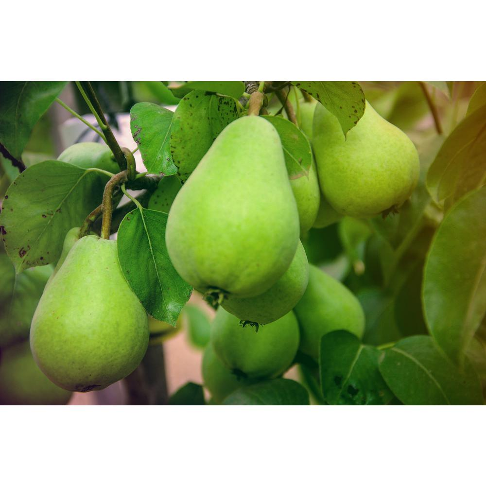 Online Orchards Dwarf D'Anjou Pear Tree Bare Root