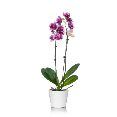 White with Purple Spots 5 in. Orchid Plant in Wood Pot (2-Stems)