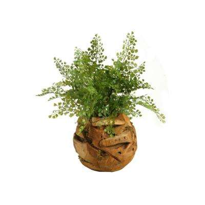 Indoor Maiden Hair Fern in Wooden Root Ball