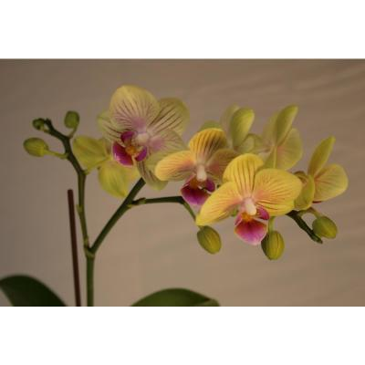 Luna River 3.5 in. Bio Pot Yellow Phalaenopsis Orchid