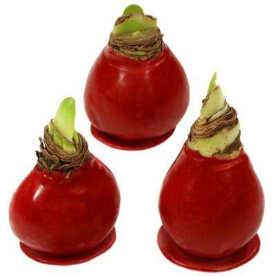 Wax-Coated Red Blooming Amaryllis Bulb (3-Pack)