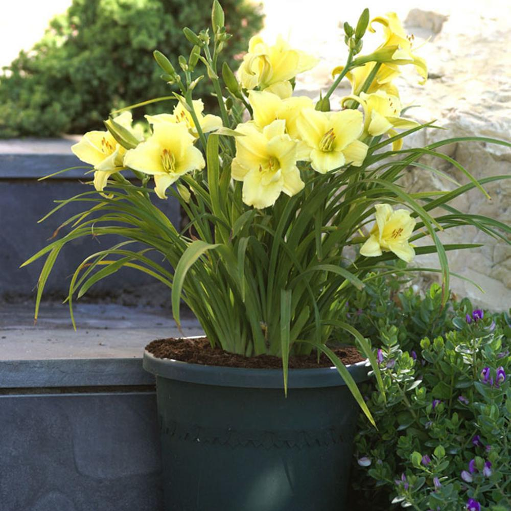 Van Zyverden Daylilies Fragrant Returns Roots 3 Pack 11321 The