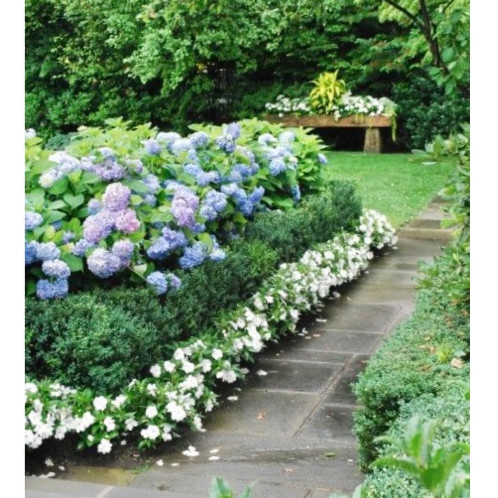 1.97 Gal. SunPatien Impatien Plant White Flowers in 2.75 In. Cell Grower's Tray (18-Plants)