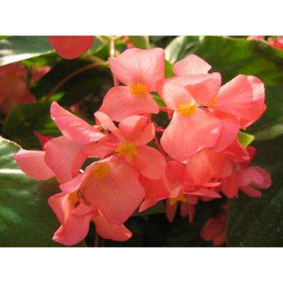 4-Pack, 4.25 in. Grande Dragon Wing Pink (Angelwing Begonia) Live Plant, Pink Flowers