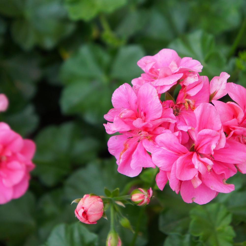 2.5 Qt. Geranium Pink Flowers in 6.3 In. Grower's Pot (4-Packs)