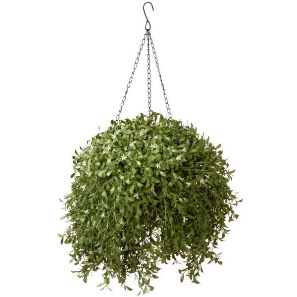 18 in. Hanging Basket Argentea Plant