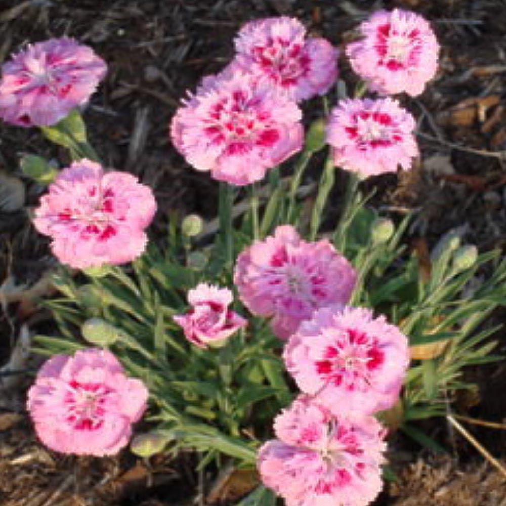 OnlinePlantCenter 1 Gal. Raspberry Surprise Garden Pinks Plant