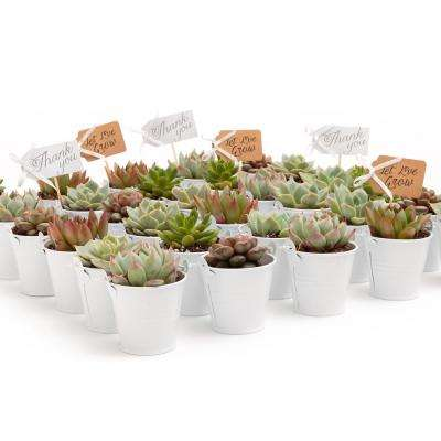 2 in. Wedding Event Rosette Succulents Plant with White Metal Pails and Let Love Grow Tags (60-Pack)