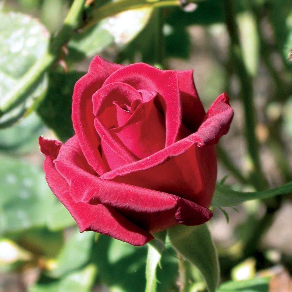 Mea Nursery All Time Favorites Rose Chrysler Imperial