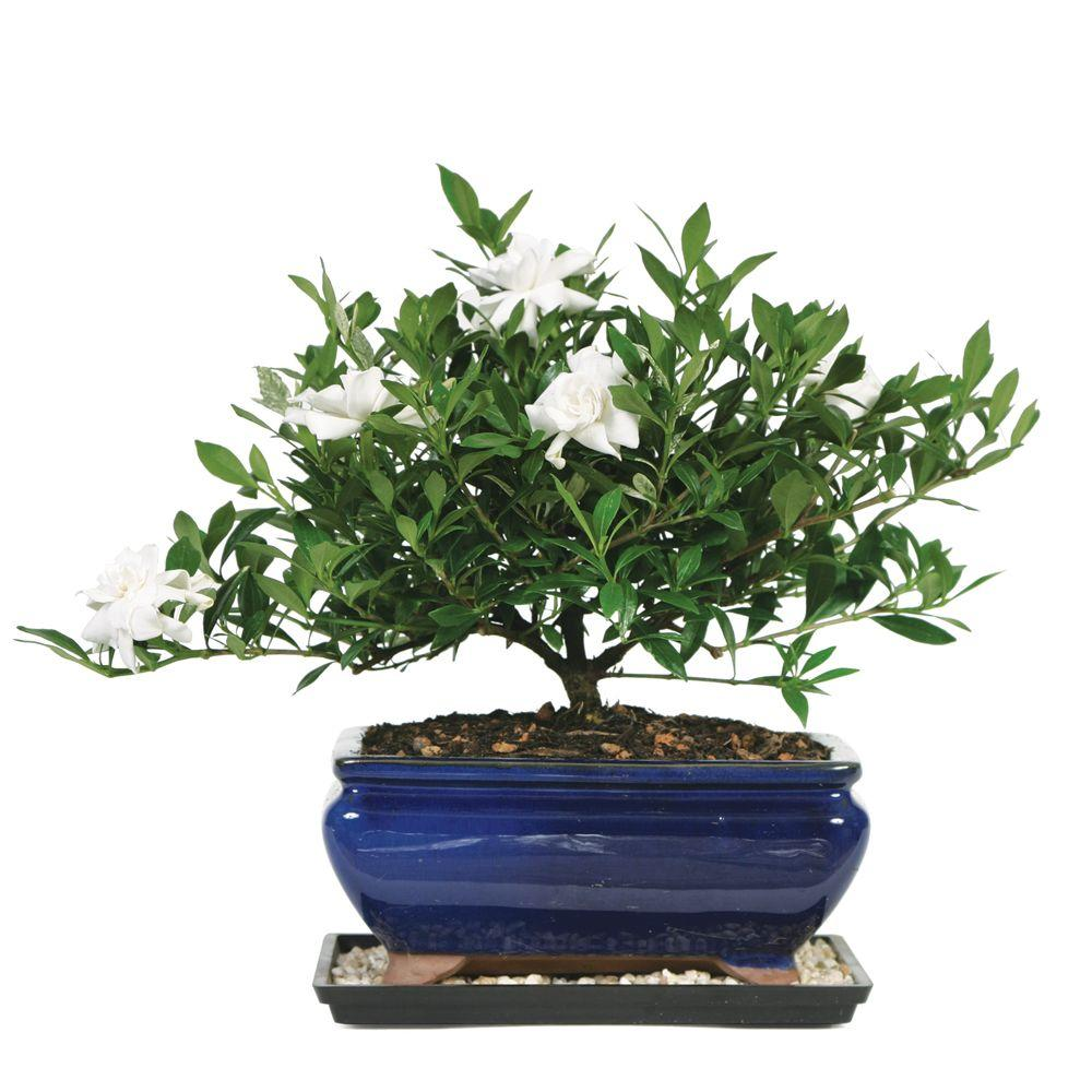 Brussel S Bonsai Gardenia Bonsai Dt 0107g The Home Depot